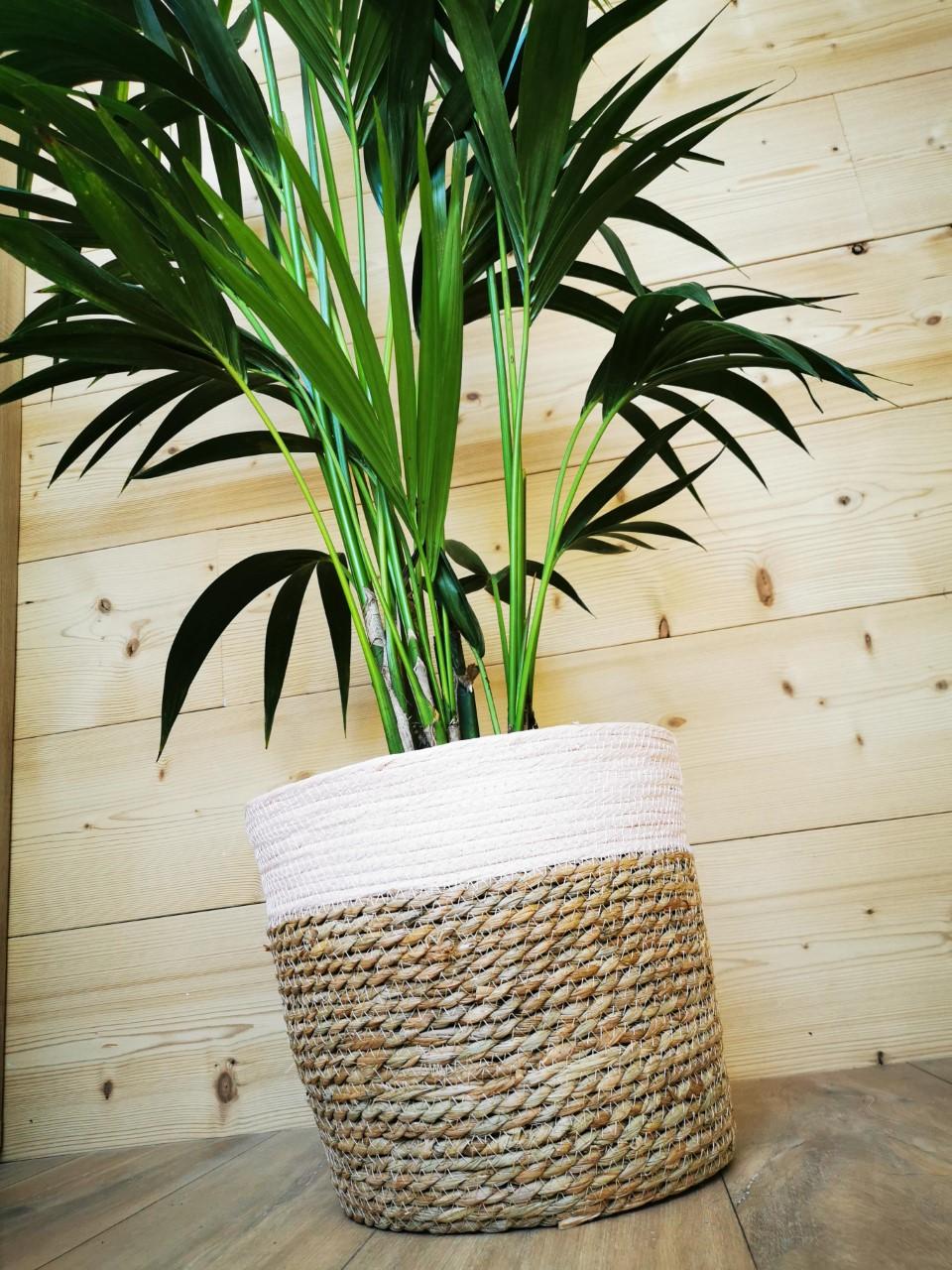 palmier intérieur